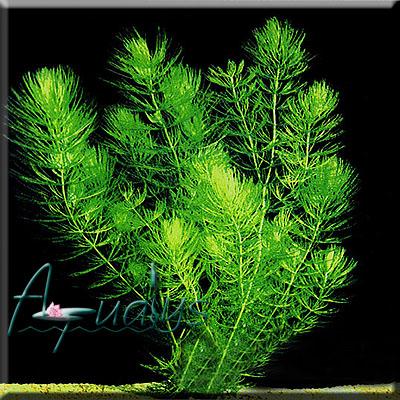 D co plantes oxygenantes pour bassin 11 le mans le mans fc u19 le mans code postal le - Plantes oxygenantes pour bassin ...